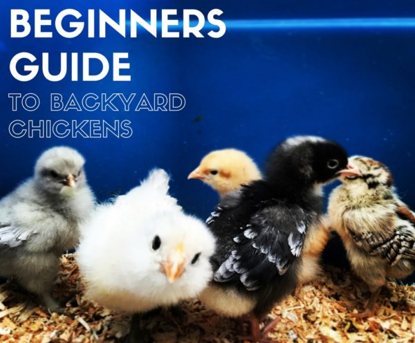 Beginners Guide to Backyard Chickens | Denver Metro Moms Blog