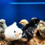 Beginners Guide to Backyard Chickens
